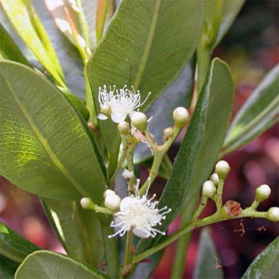 Bay St.Thomas olie (Pimenta racemosa)