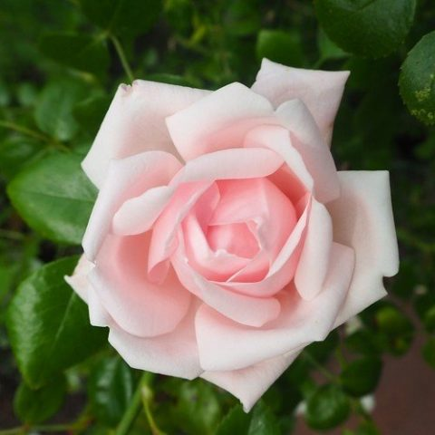 Rooscompositie, harmoniserend