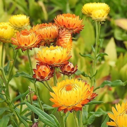 Helichrysum (Strobloem)
